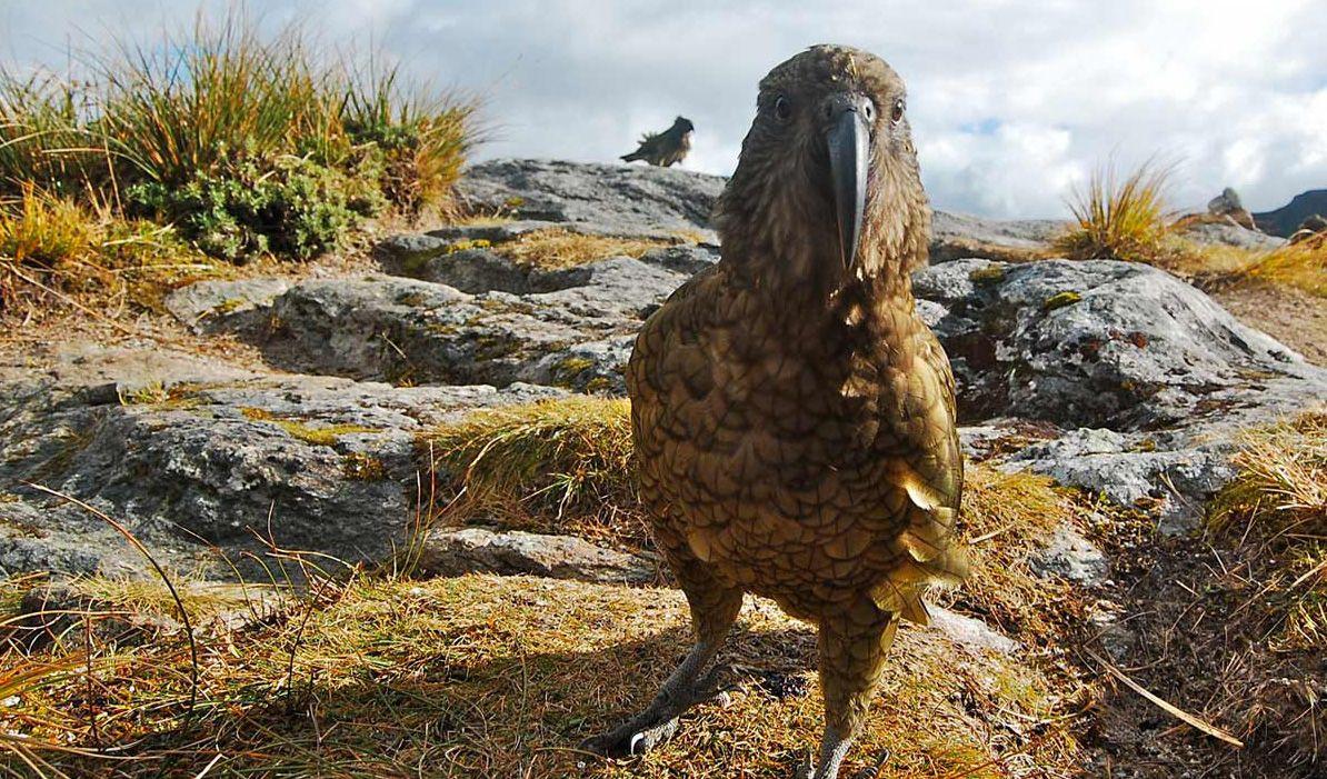 New Zealand's cheeky Kea Bird