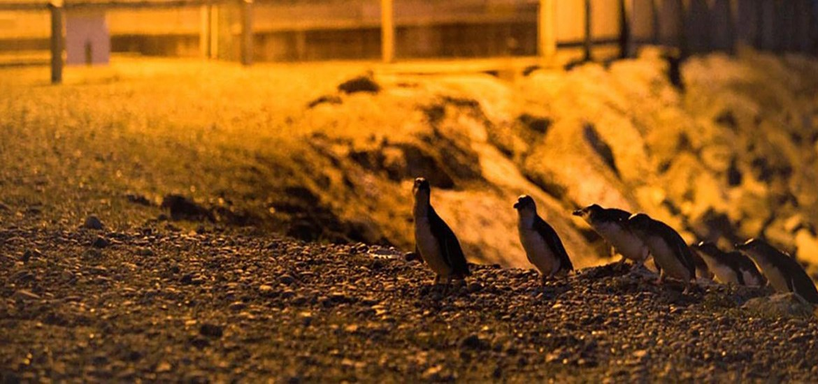 Blue Penguin Colony- Day Tour