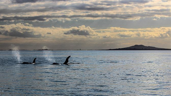 Auckland Eastern Bays with orca