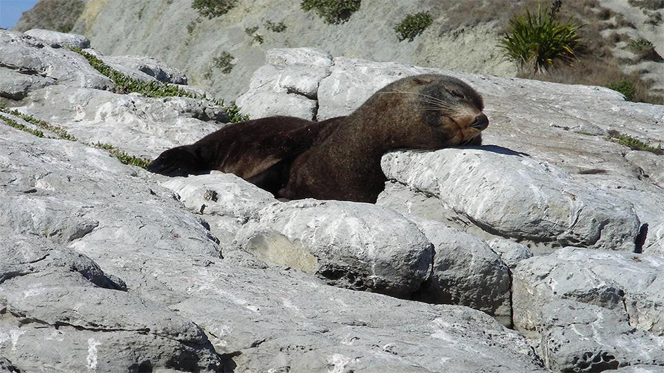 Fur seal relaxing on a rock