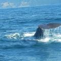 Avistamiento de ballenas kaikoura